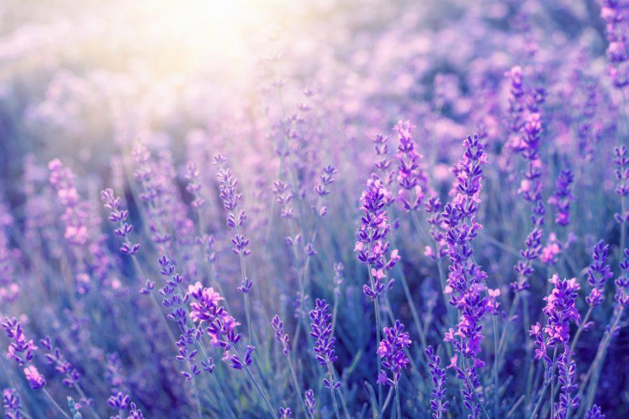 Ten Ways to Use Lavender