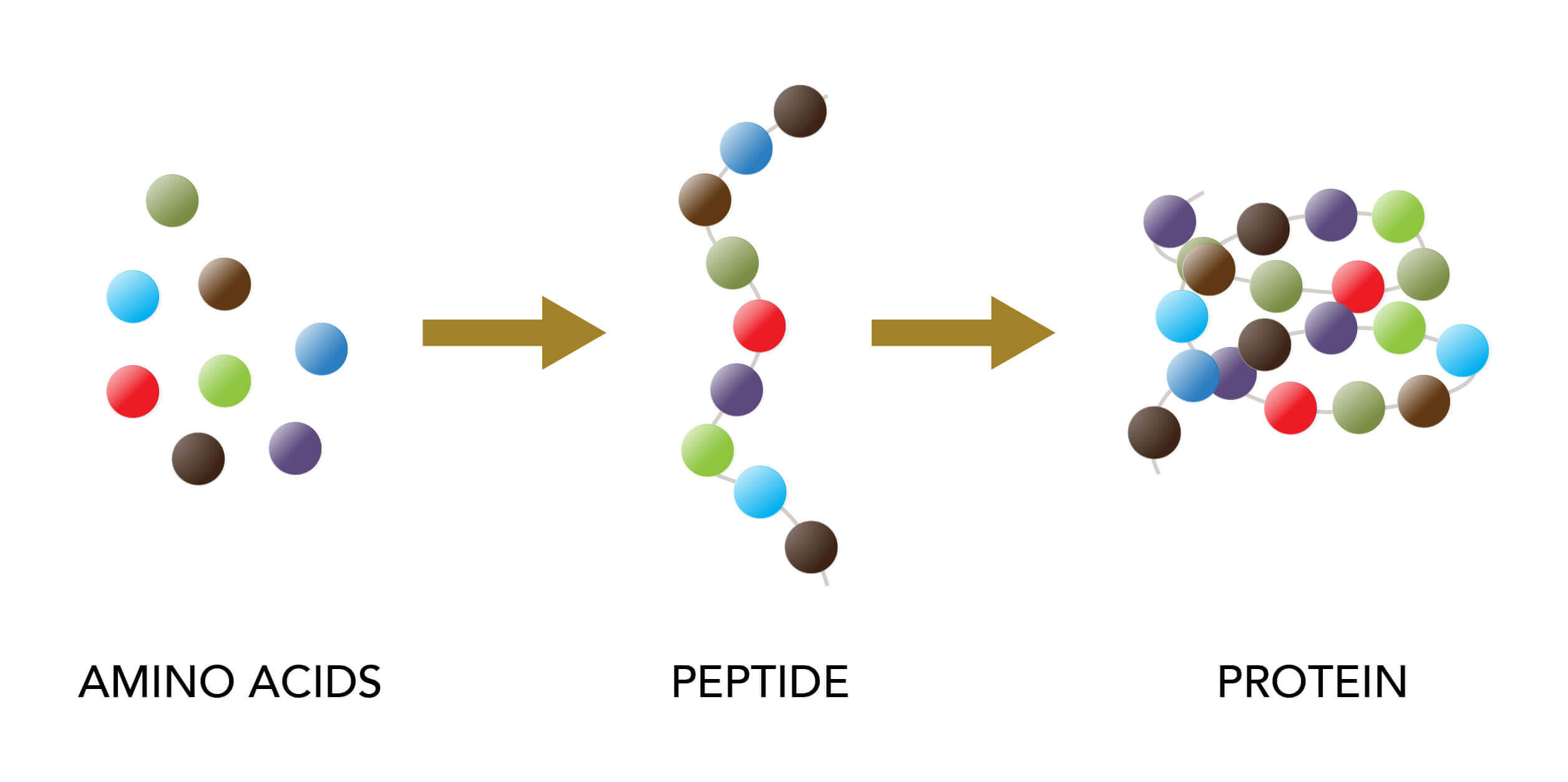Infographic showing amino acids, peptides and proteins