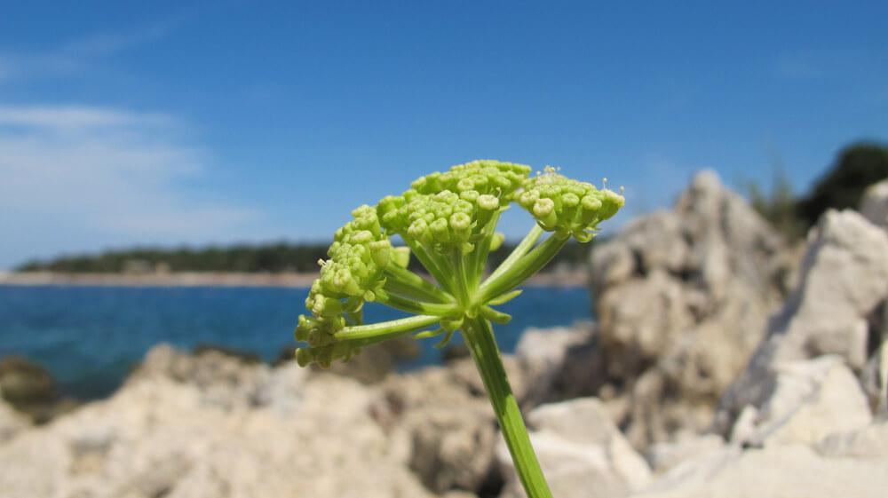 Sea fennel plant